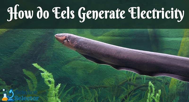 how do electric eels generate electrical current